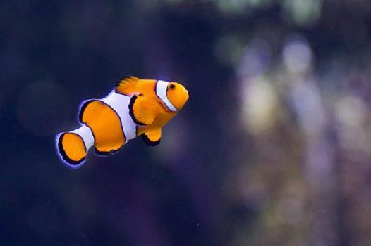 poisson clown aquarium