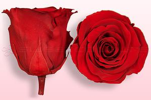 amor amor rose